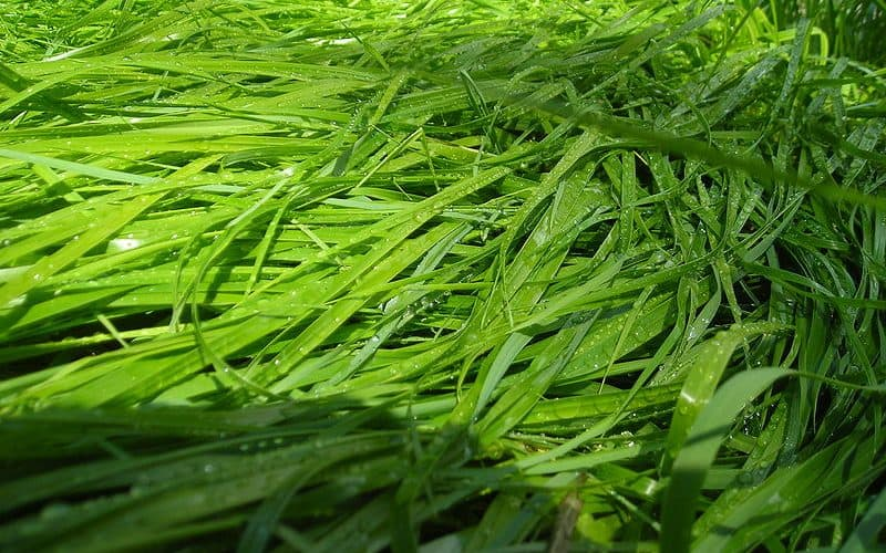 sweet grass leaves
