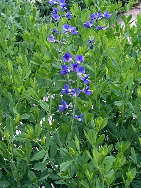 Wild Indigo Herb Uses, Side Effects and Benefits