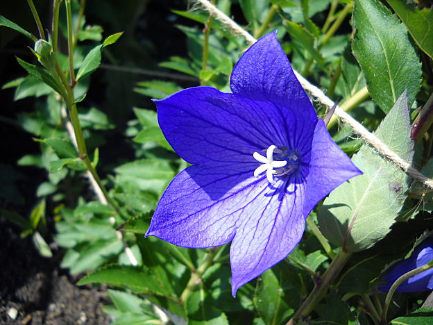 Balloon Flower Medicinal Uses And Health Benefits
