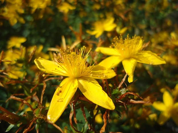 How to Use St Johns Wort