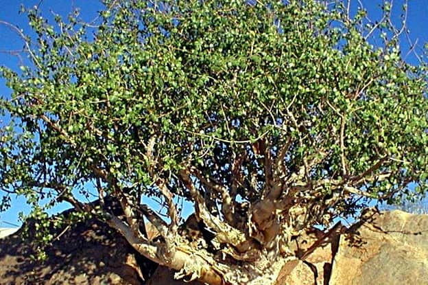 Myrrh Tree Commiphora var