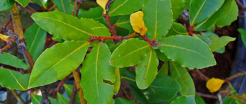 Bay Laurel Medicinal Uses and Benefits