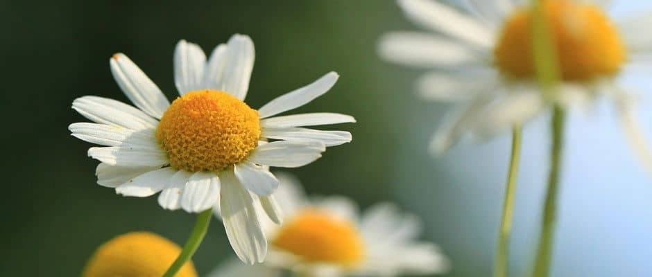 Therapeutic Uses and Benefits of Chamomile