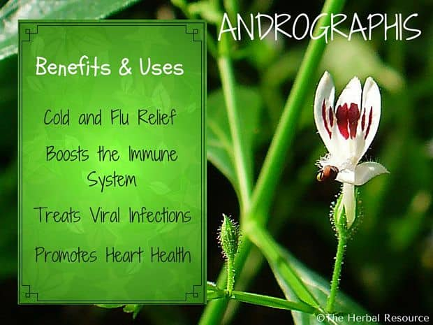 andrographis benefits and uses