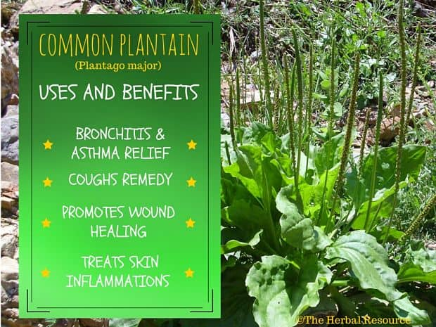 Common Plantain Benefits and Uses - ©The Herbal Resource