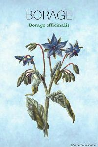 Herb Borage (Borago officinalis)