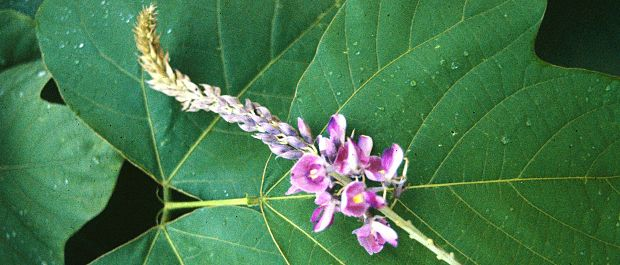 kudzu flower and leaf