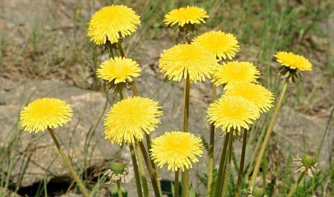 Dandelion Flowers - Herbal Medicine