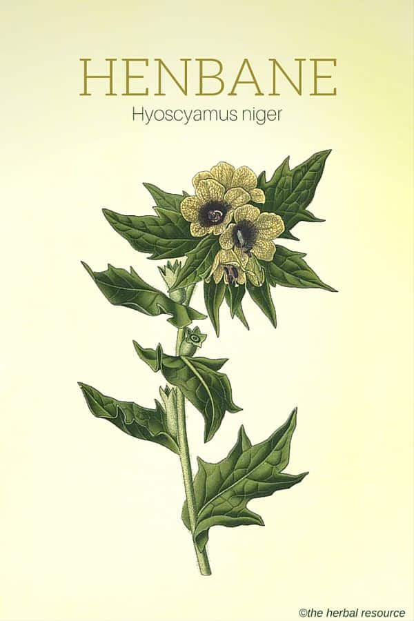 Henbane Herb Uses Benefits And Side Effects
