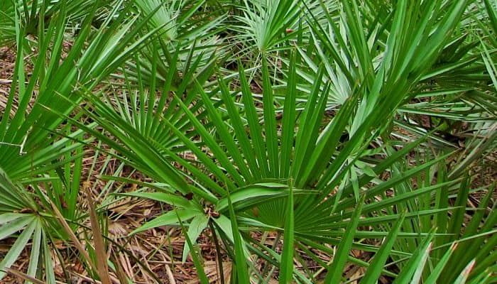Saw Palmetto Herb Uses Side Effects And Benefits