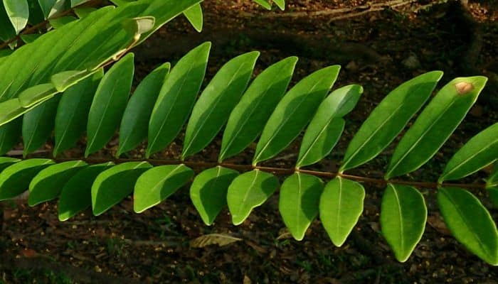 Tongkat Ali Herb Uses Side Effects And Health Benefits