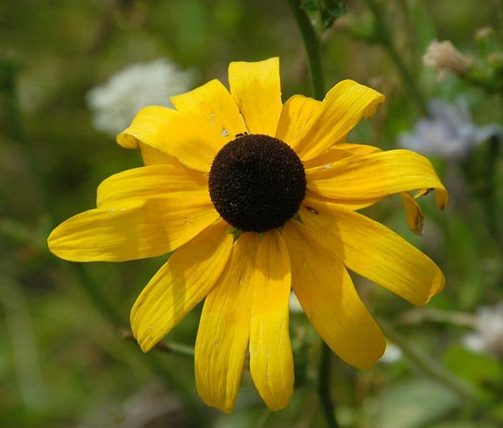 Black eyed susan medicinal uses and benefits Black eyed susans