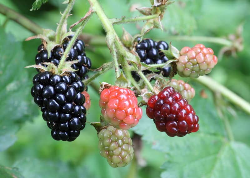 Blackberry Health Benefits, Uses and Side Effects