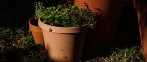 How to Grow Medicinal Herbs