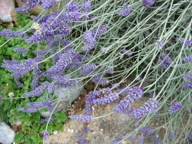 Lavender Herb Uses Side Effects And Benefits