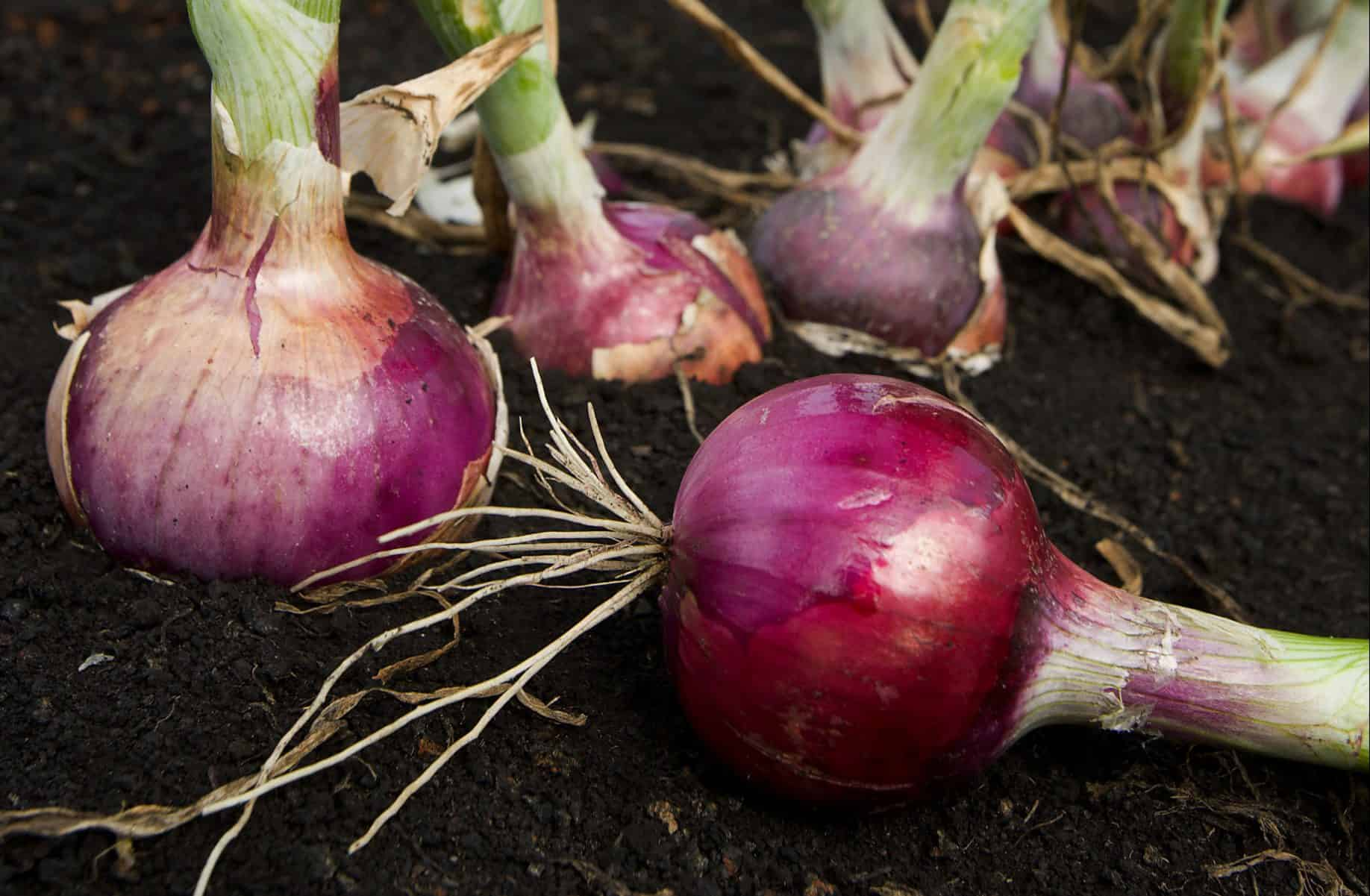 Onion Herb Uses and Benefits as Medicine