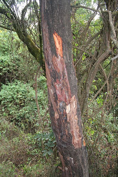 pygeum bark tree