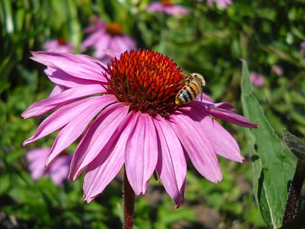 herbal remedies for cold sores - echinacea purpurea