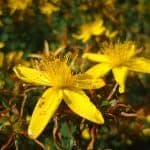 St. John's Wort Herb – Benefits and Side Effects