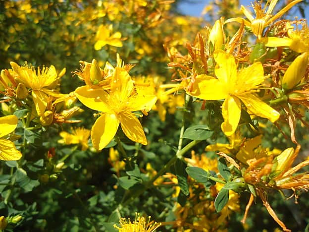 Herbs for Depression - St. John's Wort Flowers