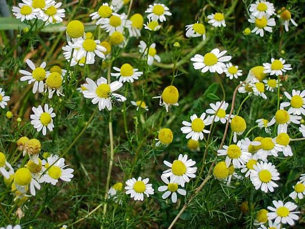 herbal remedies for dermatitis - chamomile