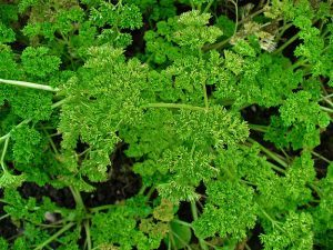 Parsley Uses and Medicinal Benefits