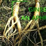 The Timeless Lure of Asien Ginseng  as an Aphrodisiac