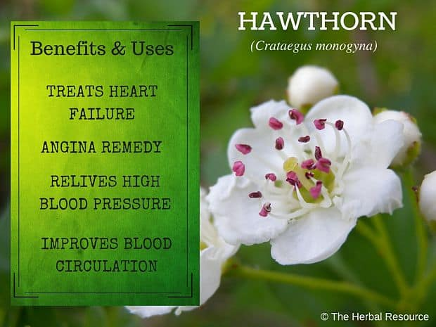 hawthorn benefits