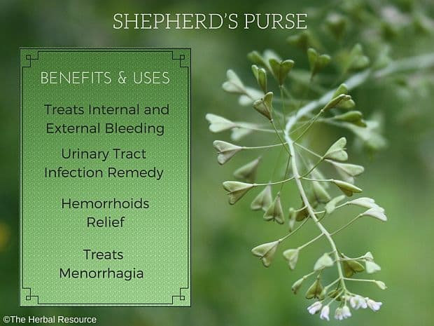 shepherd's purse benefits