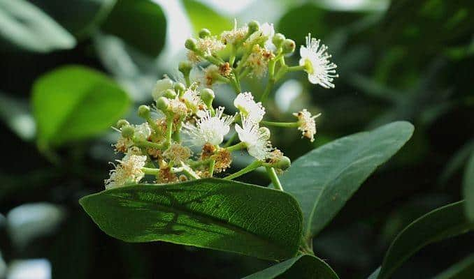 pianta dioica allspice benefits side effects and uses of its berries