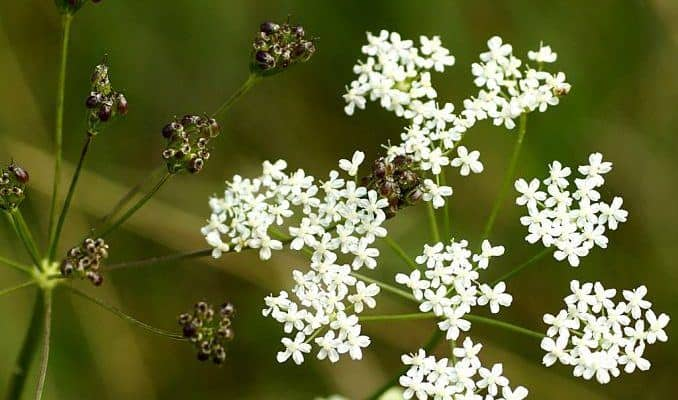 anise herb flowers