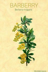 barberry herb
