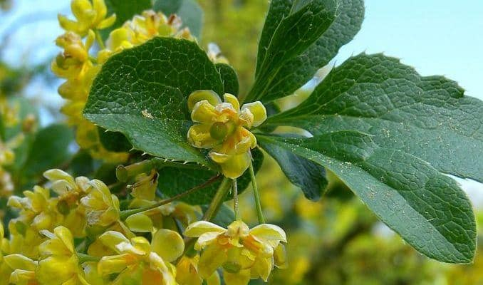 barberry herbal medicine