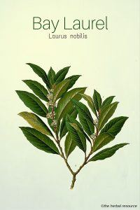 Medicinal Herb Bay Laurel