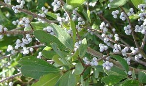Bayberry Remedy