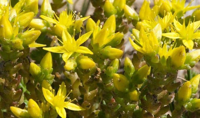 Biting Stonecrop Flowers