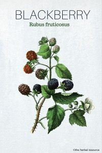 The Herb Blackberry (Rubus fruticosus)
