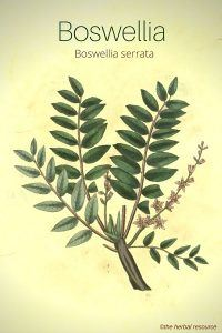 The Herb Boswellia Serrata