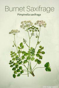 Burnet Saxifrage (Pimpinella saxifraga)