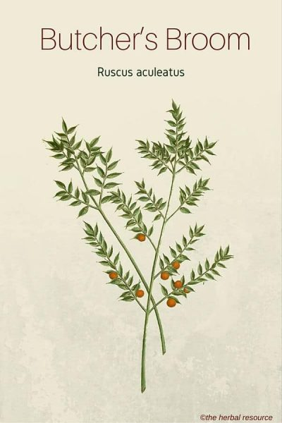 Butcher's Broom - Medicinal Herb