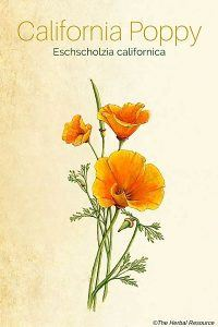 california poppy herb (Eschscholzia californica)