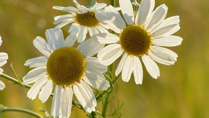 Chamomile Uses in Herbal Medicine