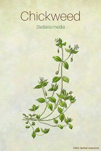 Chickweed herb side effects uses and benefits