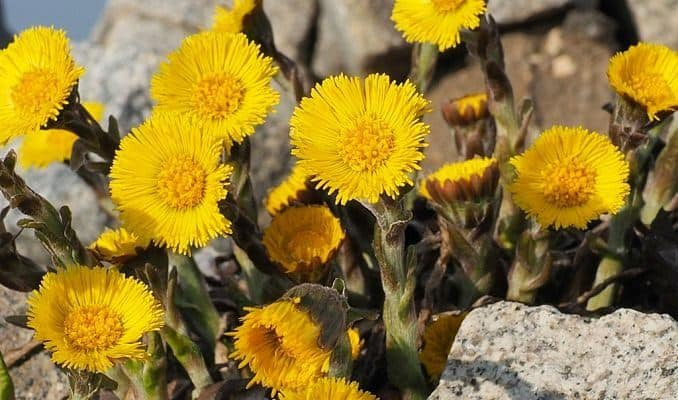 Coltsfoot - Herbal Remedy