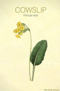 The Herb Cowslip (Primula veris)
