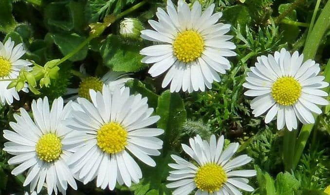 Daisy Uses as Herbal Medicine