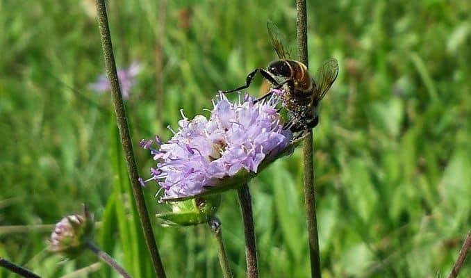 Devil's Bit Scabious Flower
