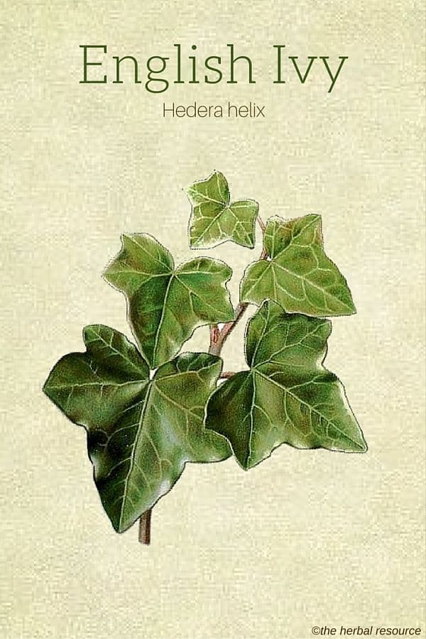 English Ivy Herb Benefits, Uses and Side Effects