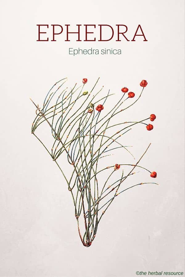Ephedra Herb Side Effects Uses And Benefits