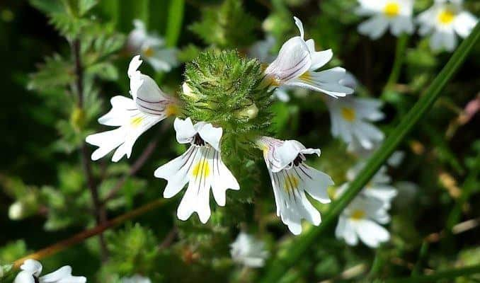 Eyebright Flowers (Euphrasia officinalis)